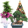 send christmas plants to korea