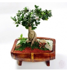 Ficus Tree Bonsai Send to Korea