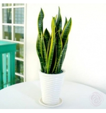 Sansevieria White Plant Send to Korea